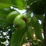 deformierte Frucht durch Fraßschaden
