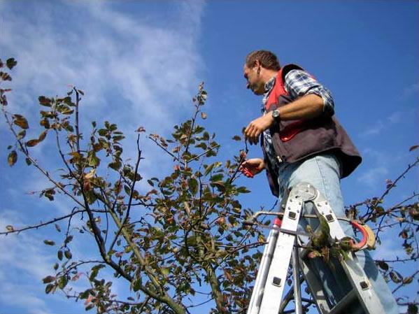 Obstbaumschnitt durch Kurt Fichtner